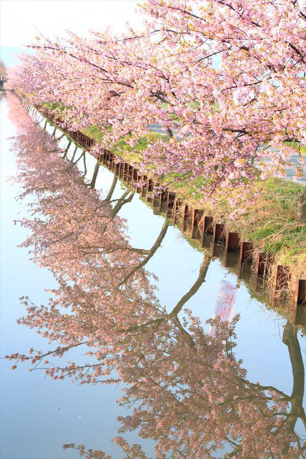 桜 ロード 河津 笠松