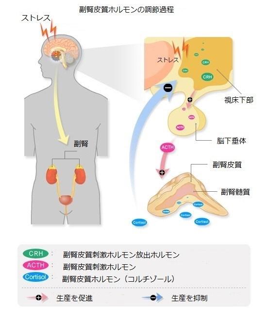 皮質 ホルモン 副腎
