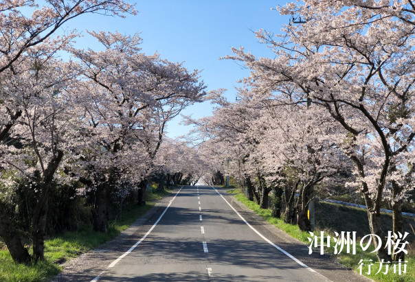 行方市】沖洲の桜   茨城県の桜