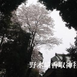 守谷市 つくばみらい市の桜 ページ1 茨城県の桜