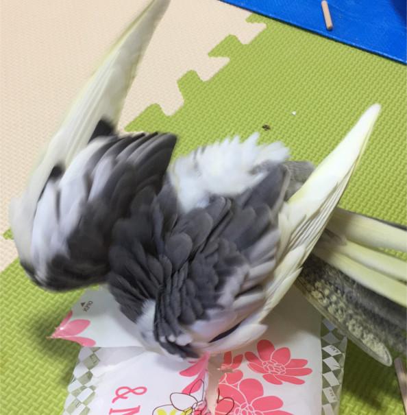 里親 文鳥